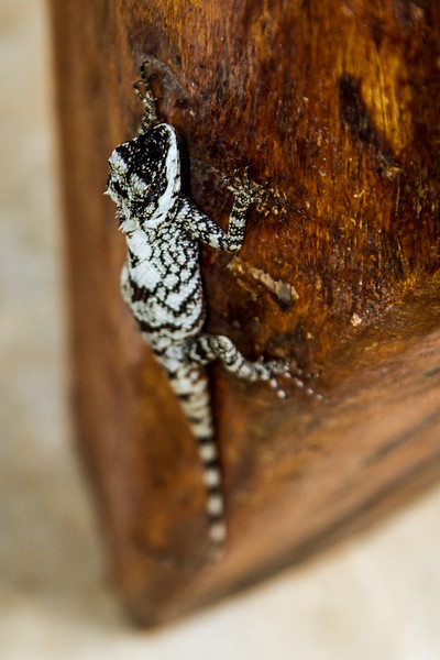 Male Sri Lankan bloodsucker lizard (Calotes ceylonensis) climbing a chair leg, Sri Lanka.