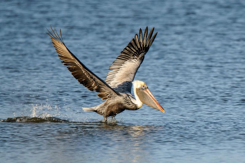 Pelican - Brown - St. George Island, FL