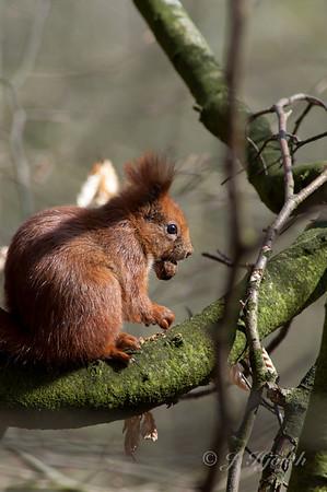 Egern - Red Squirrel - (Sciurus vulgaris fuscoater)