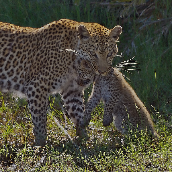Leapard with Cub, Jao Camp, Botswana, Africa