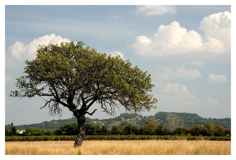 roussillon tree2.jpg