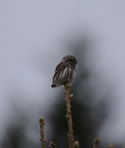 Varpuspöllö (Glaucidium passerinum)