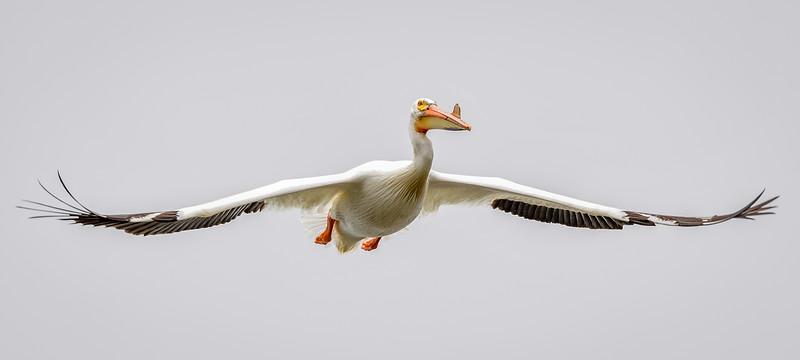 America  White Pelican