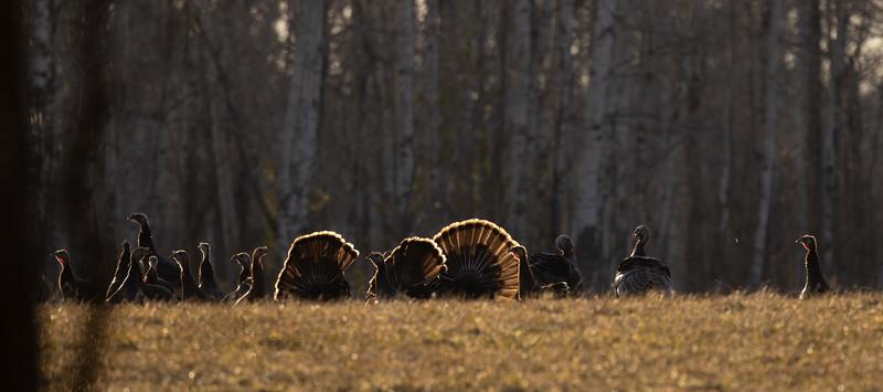 Wild Turkey flock displaying male toms courtship Skogstjarna Carlton County MN  IMGC5694.jpg