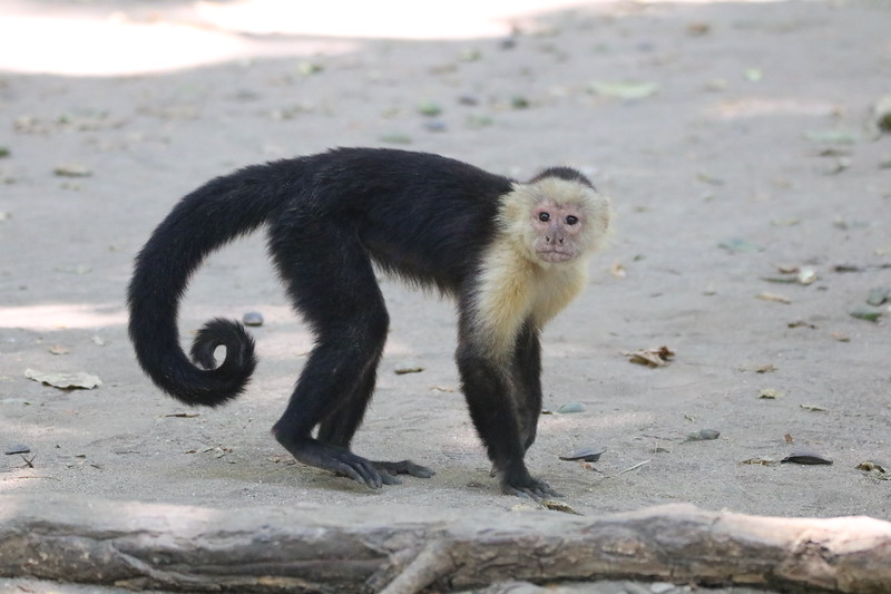 Capuchin Monkey at the Beach in Costa Rica