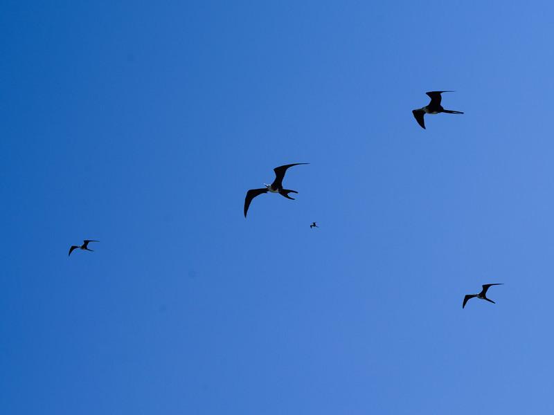 Frigatebirds flying in the sky, Half Moon Caye, Lighthouse Reef Atoll, Belize