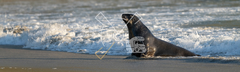 Adult New Zealand Sea Lion playing and swimming in the surf at the beach of Sandfly bay