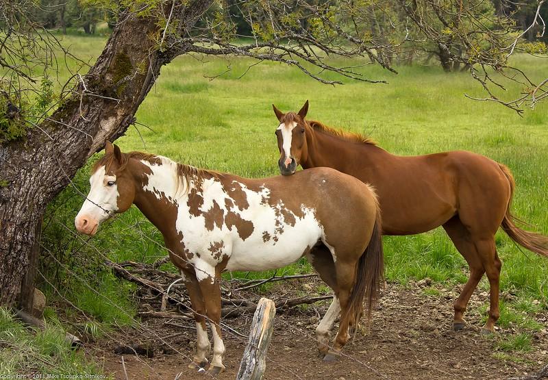 Horses at Railroad Flat