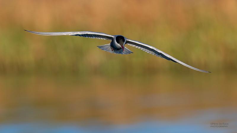 Whiskered Tern, Lake Cargelligo, NSW, Aus, Oct 2018-8.jpg