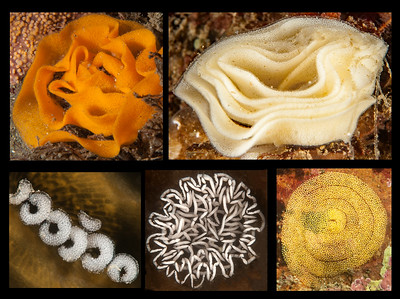 Opisthobranch Eggs of the Eastern Pacific
