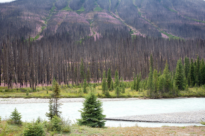 Area of past forest fire next to the Kootenay River.  The purple in the burn area was amazing; this photo doesn't do it justice.