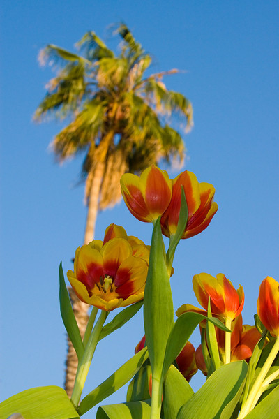 Tulips outdoor_05.jpg