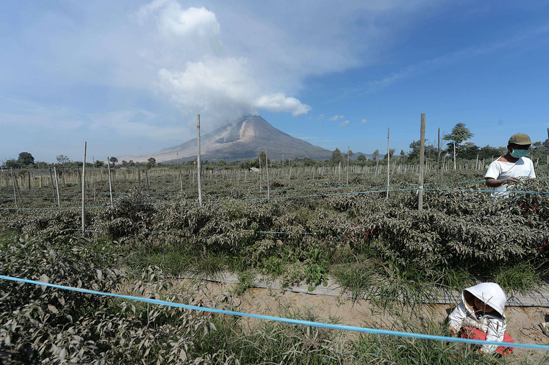 . An Indonesian farmer (R) harvests chili as mount Sinabung spews smoke in Karo on February 4, 2014. A volcano in western Indonesia that killed 15 people in a weekend eruption shot hot ash and rocks high into the air again on February 3, halting a search for any more victims. (ADEK BERRY/AFP/Getty Images)
