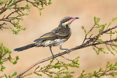 Honeyeaters, Miners, Chats