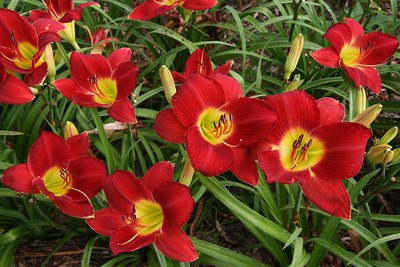 most-daylily-varieties-are-very-tough