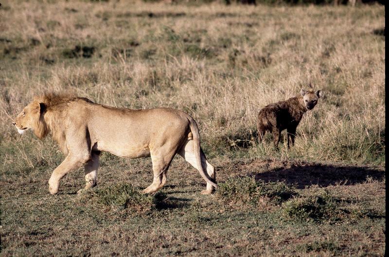 hyena not afraid of lion