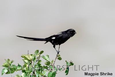 Magpie Shrike, Kenya