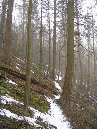 Hemlocks, late winter