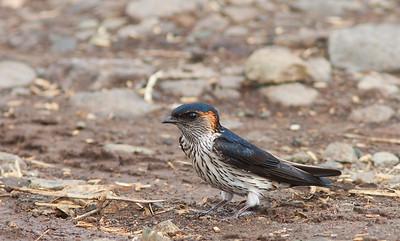 Cecropis striolata - Striated Swallow