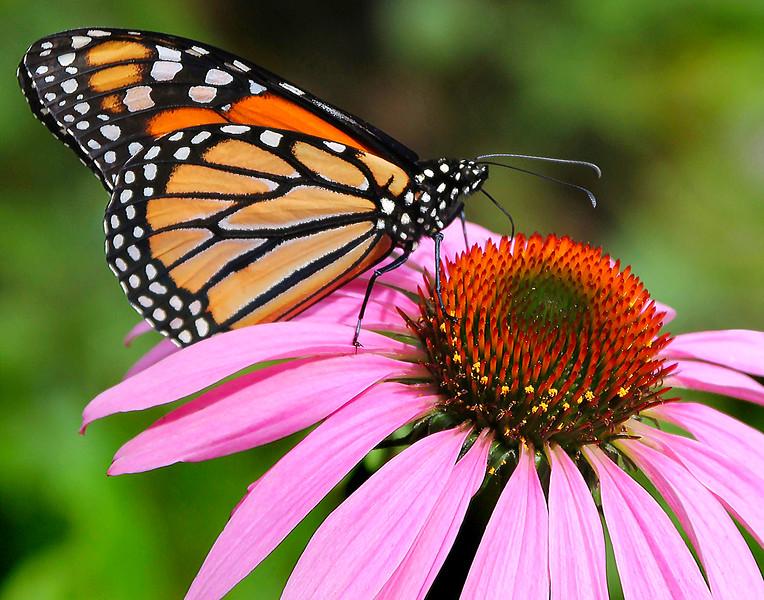 9_29_19 Monarch Butterfly On Purple Coneflower.jpg