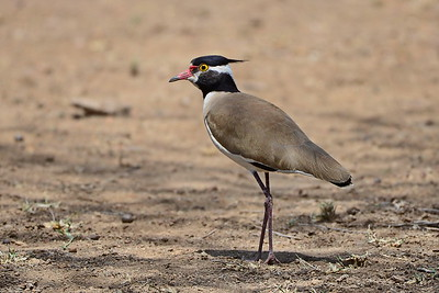 Lapwings and Plovers / Kiebitze - Charadriidae