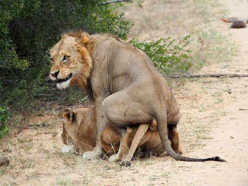 Mating lions in Kruger National Park