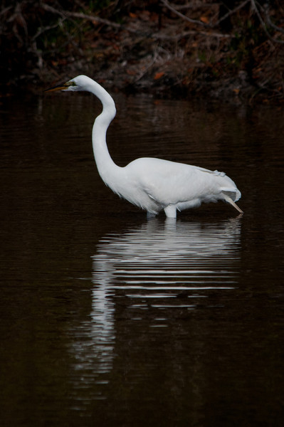 Great Egret. Ding Darling Bailey Tract.