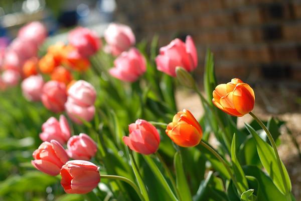 4/26/08 Jeannette's Tulips