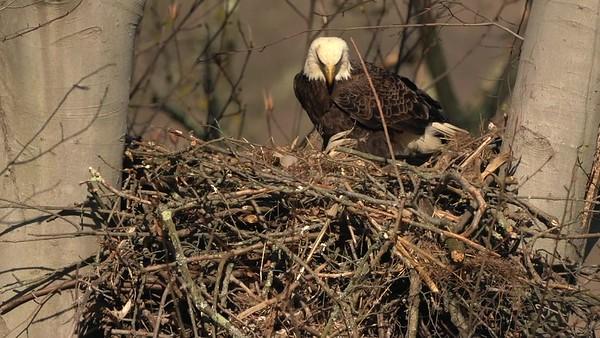 Eaglet at 4 days old