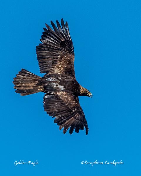 _DSC9369Adult Golden Eagle.jpg