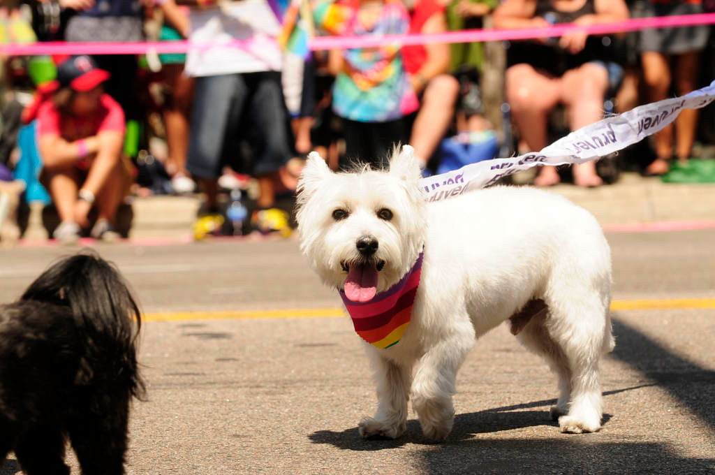 . A dog wears rainbow colors at the parade. (Pioneer Press: Scott Takushi)