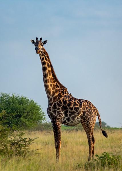 giraffes-104_0214_1810.jpg