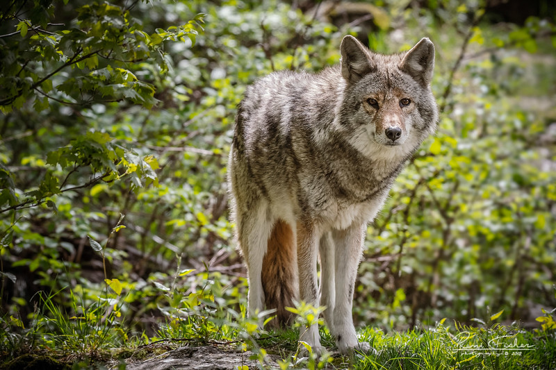 ReneFisher_Coyote_Canvas_16x24_Animal_0726_19.jpg