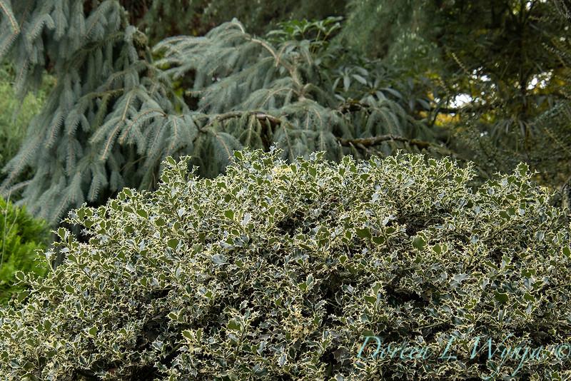 2396 Ilex aquifolium 'Sadezam' Sant's Delight_2644.jpg