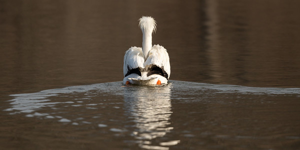 White Pelicans at Perry State Lake