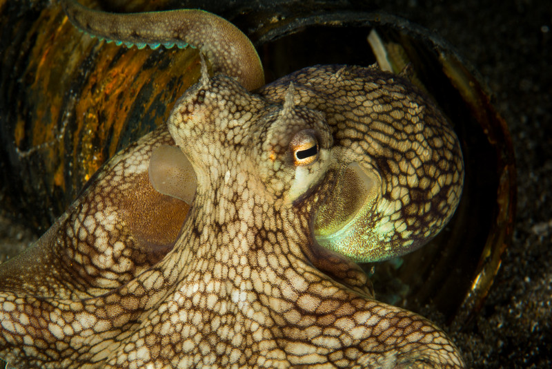 Coconut Octopus in a rusty can during a night dive @ Anilao Pier