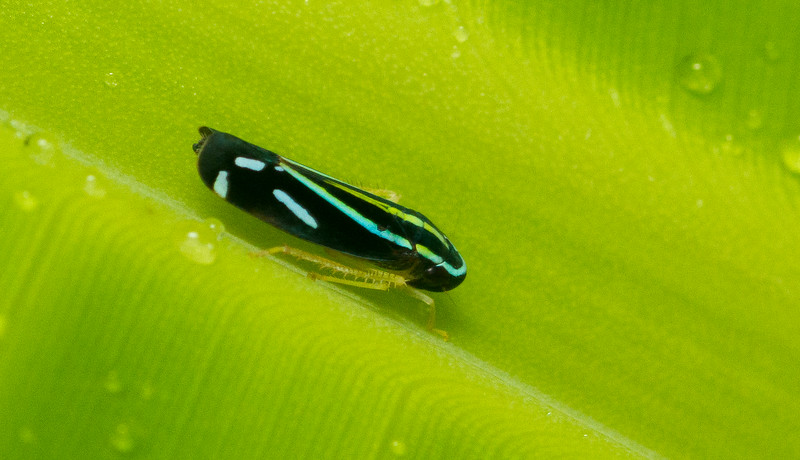 Electric blue leafhopper from Panama.
