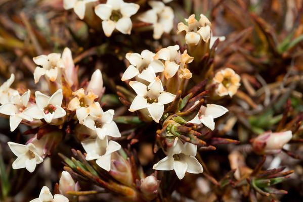 Trailing grass tree - Dracophyllum pronum