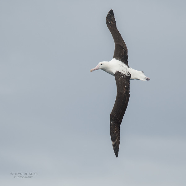 Northern Royal Albatross, Eaglehawk Neck Pelagic, TAS, Sept 2016-7.jpg