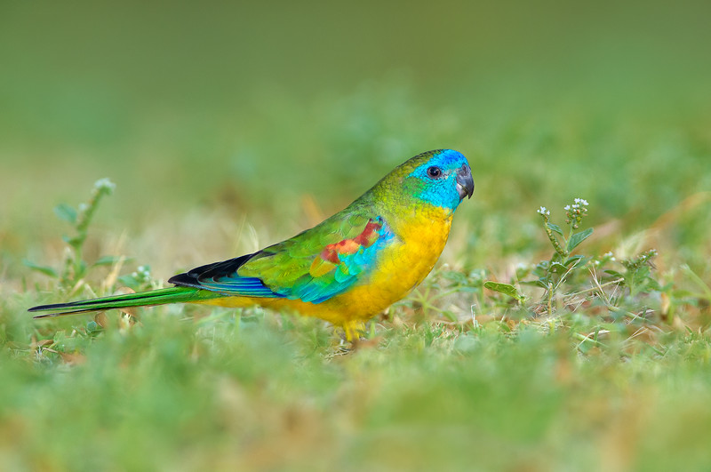 Turquoise Parrot - Neophema pulchella (Warby Ranges, Vic)