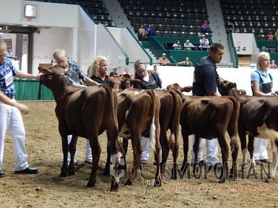Minnesota State Fair Milking Shorthorn Heifers 2015