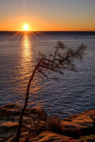 Tree at Sunrise in Acadia National Park