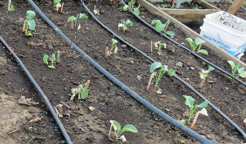 Cole-crop-after-sub-zero-we.jpg