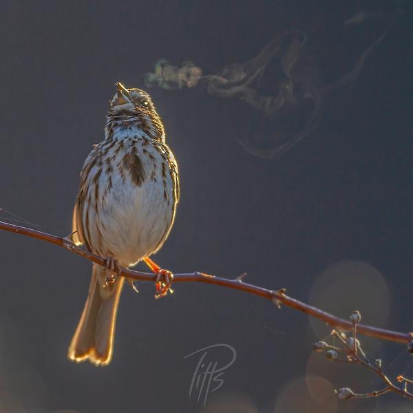 sm sparrow_M4D8024.jpg
