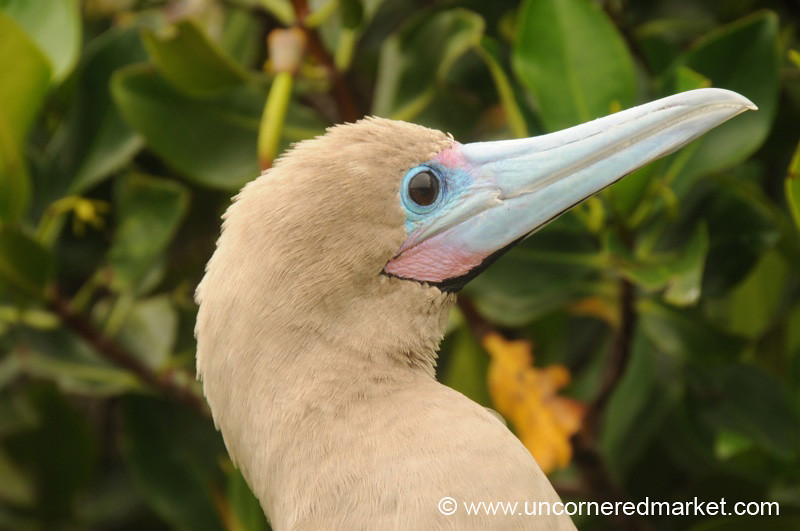 Red Footed Booby - Galapagos Islands