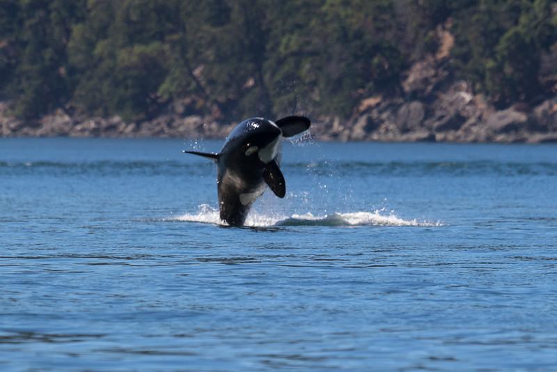 Orcas -  073115-280.jpg