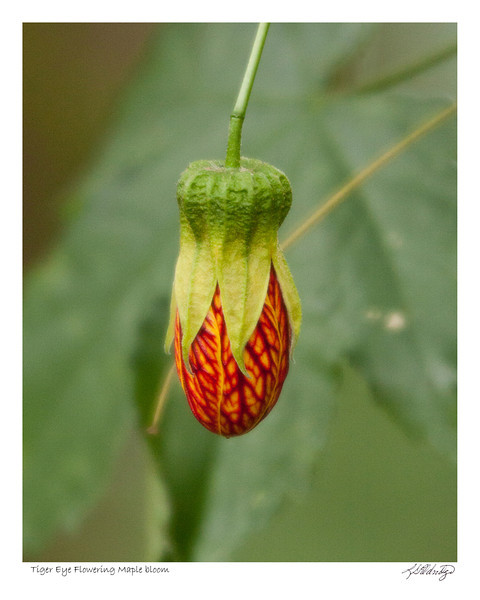 Tiger Eye Flowering Maple found in Ecuador