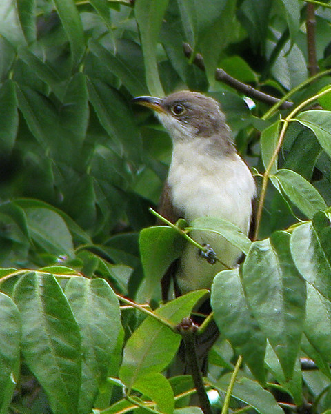 yellow_billed_cuckoo_0184.jpg