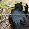 """Wildlife, landforms & landscapes of the Galapagos Islands. <br /> Great Frigate Bird, showing iridescant back feathers.<br /> Photos, prints & downloads SEE ALSO:  <a href=""""http://www.blurb.com/b/3551540-galapagos-islands"""">http://www.blurb.com/b/3551540-galapagos-islands</a>"""