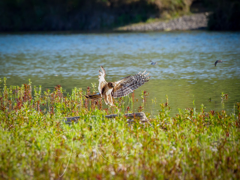 Northern Harrier on an island